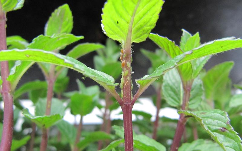 Angewandte Gartenbauwissenschaften: Arbeiten mit Schädlingen und Nützlingen